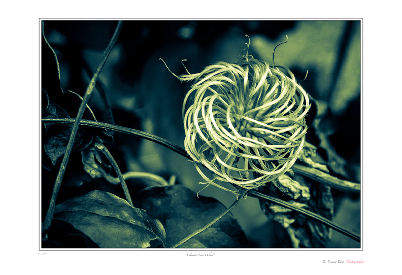 Clematis Seed Whorl