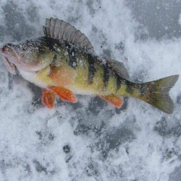 Frozen perch