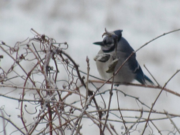 Blue jay siting in the brush