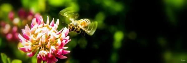 Une abeille qui zèzeille :)