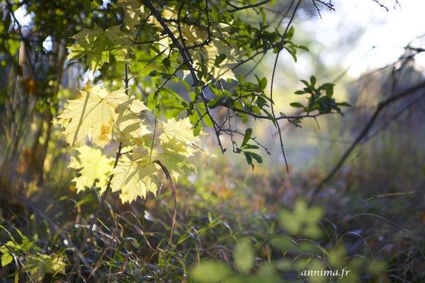 Lumière dorée, arbres, feuillages, leaves trees