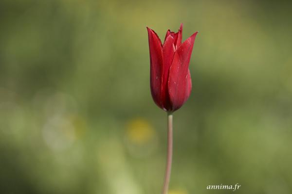 tulip, red