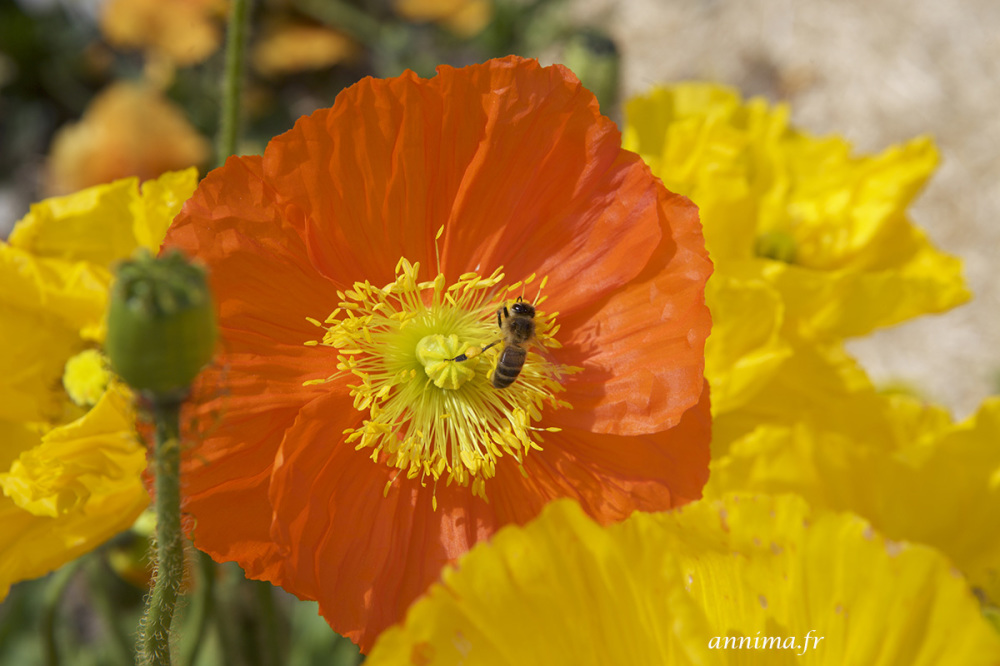 poppies, bees