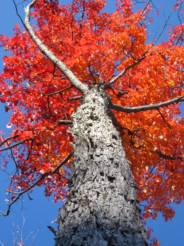 tall red tree in fall