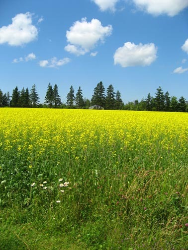 canola field with clouds on Prince Edward Island