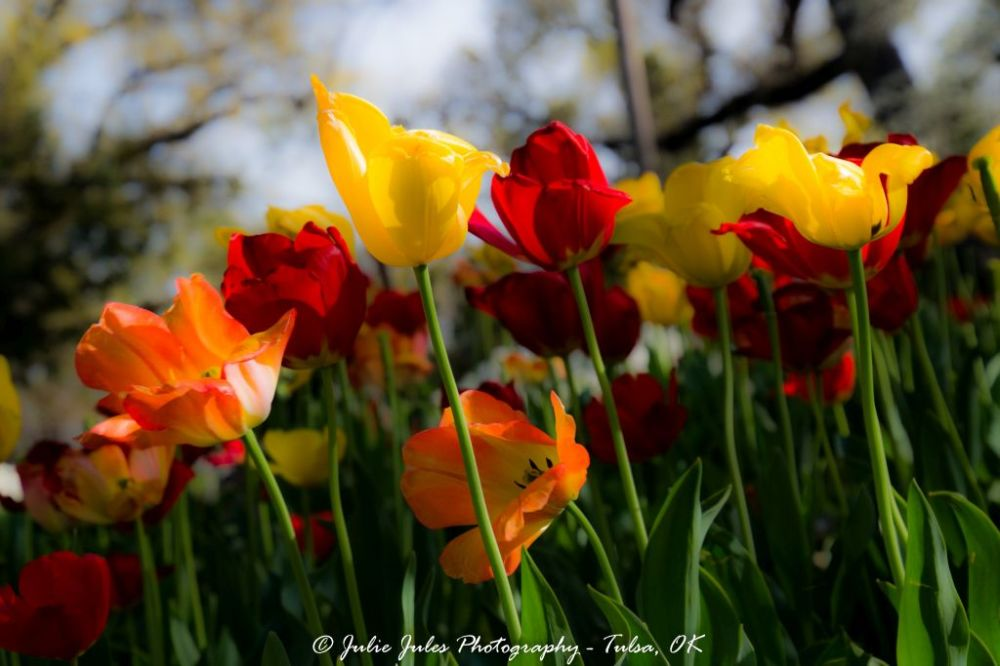 Tuilips Flowers Garden Orange Red Spring Park