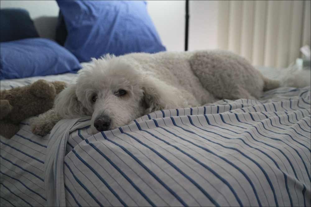 A pooped poodle
