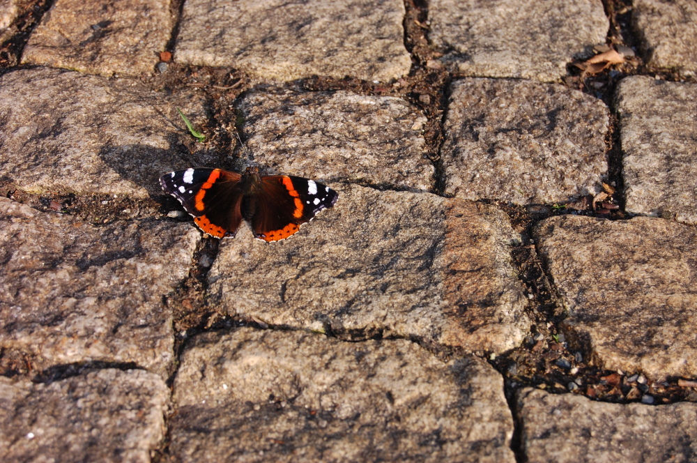 Red admiral butterfly on the ground