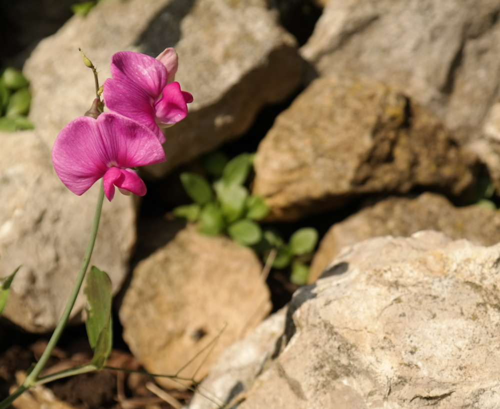 Little pink flower blossoming against rocks
