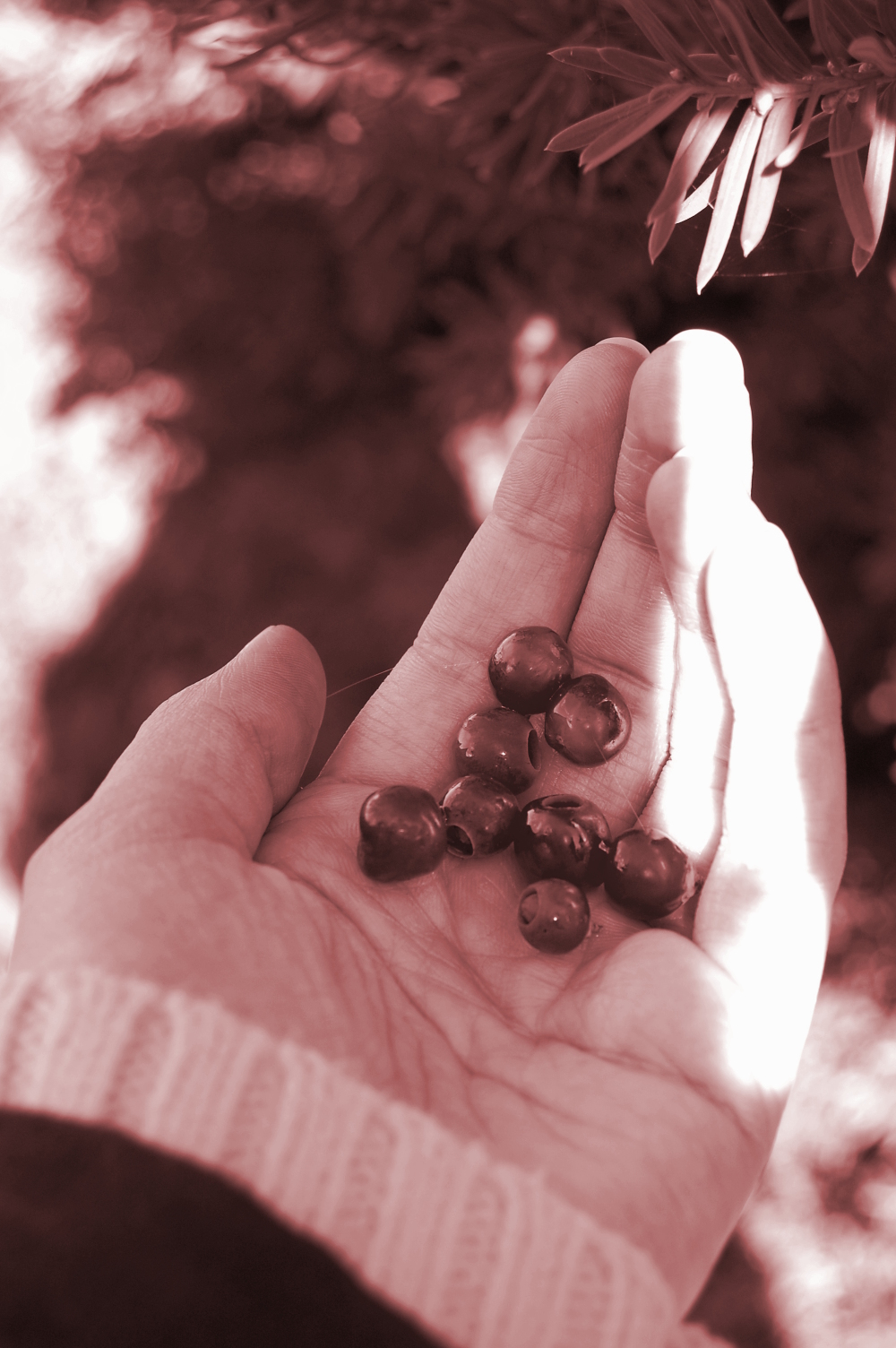 Yew tree berries in a hand