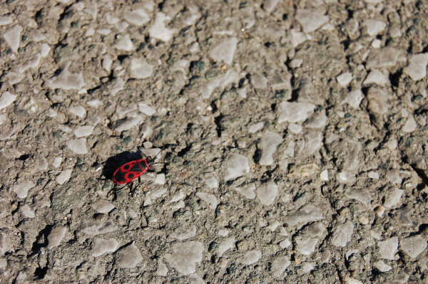 Red bug on the grey road