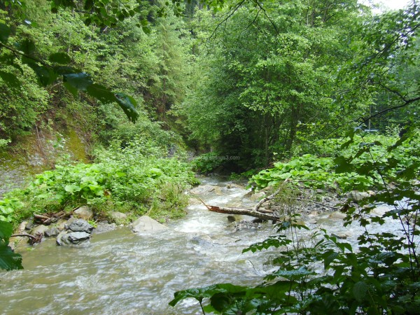 Mountain  river  in  Carpatian  forest