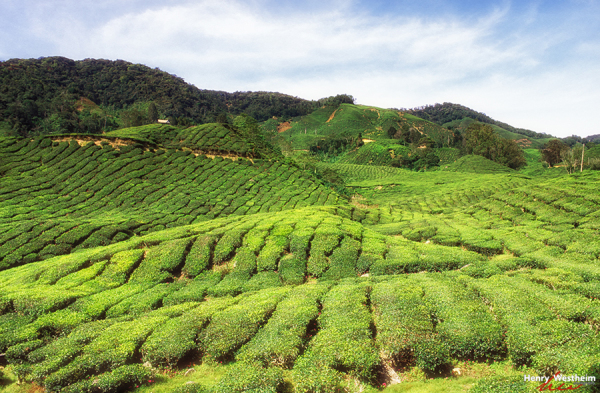 Malaysia, Tea Plantation, Cameron Highlands, Perak