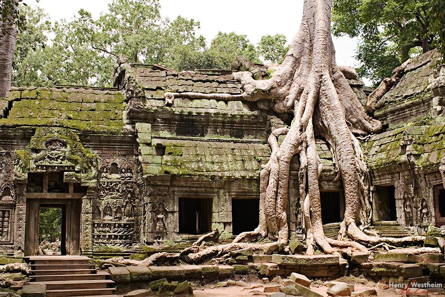 Cambodia, Ta Prohm, Kapok Silk Cotton Tree
