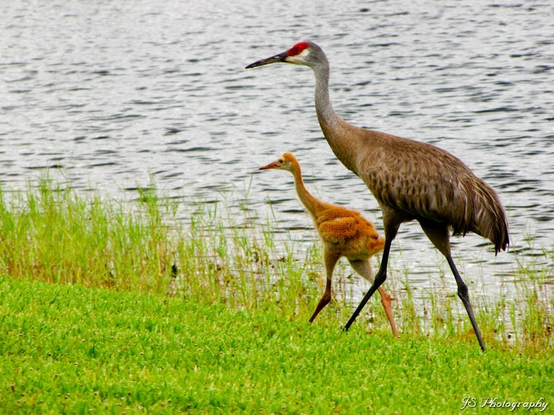 Mother and child Sandhill Cranes