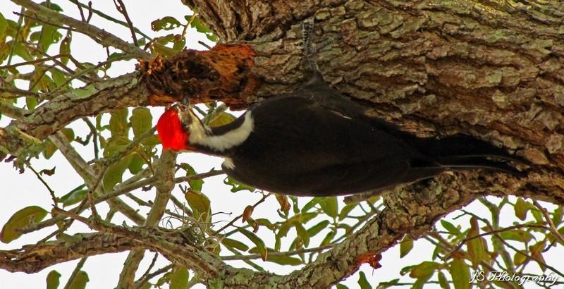 Pileated Woodpecker