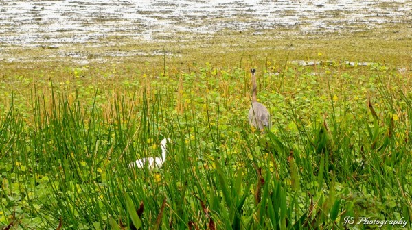 Great blue heron and ibis wading through the reeds
