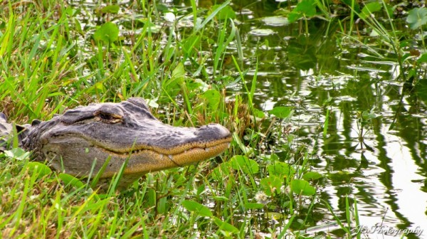 Closeup of medium-sized alligator