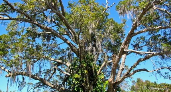 Mature Oak Tree Canopy
