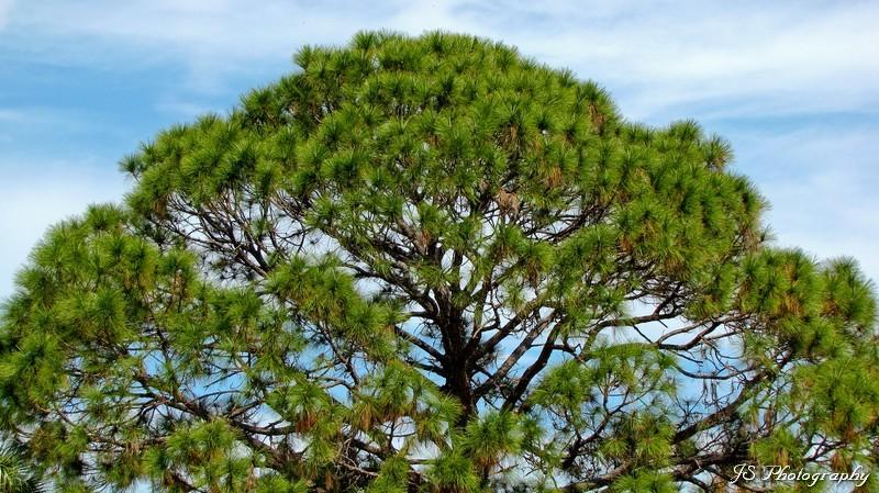 Canopy of Slash Pine