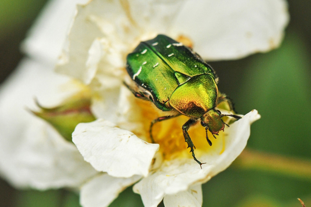 green rose chafer one a rose
