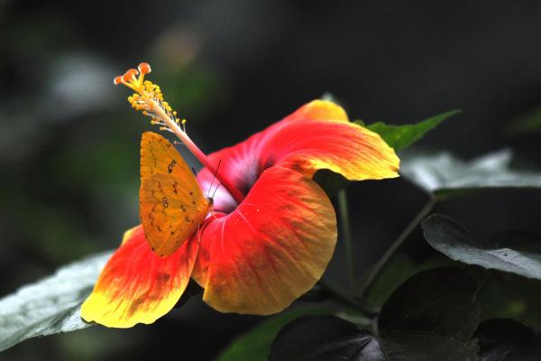 flower of hibiscus