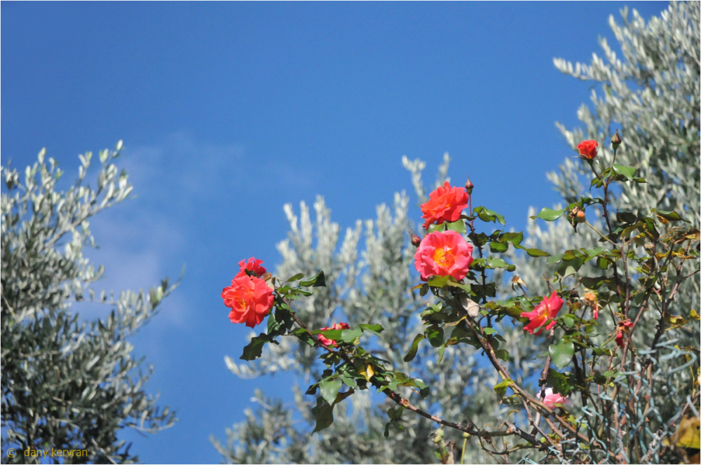 flowers and olive trees