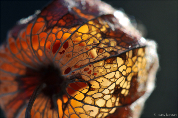 physalis amour-en-cage