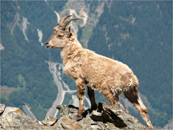 ibex above Chamonix valley