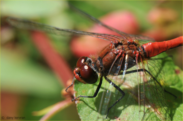 dragonfly Ruddy-darter