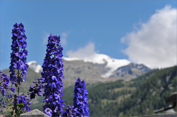 flowers in Champoluc (Italy)