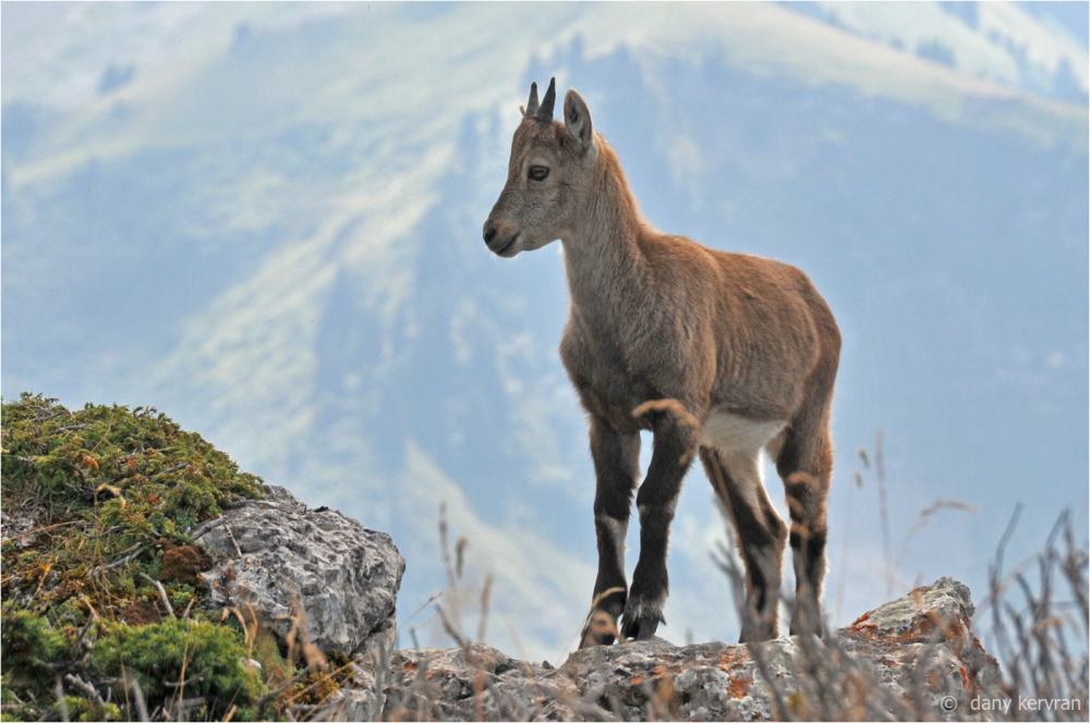 ibex in French Alps