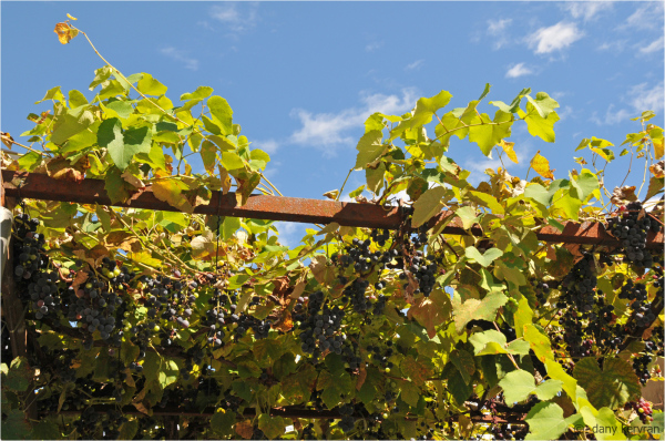 vine on a bower in Italy