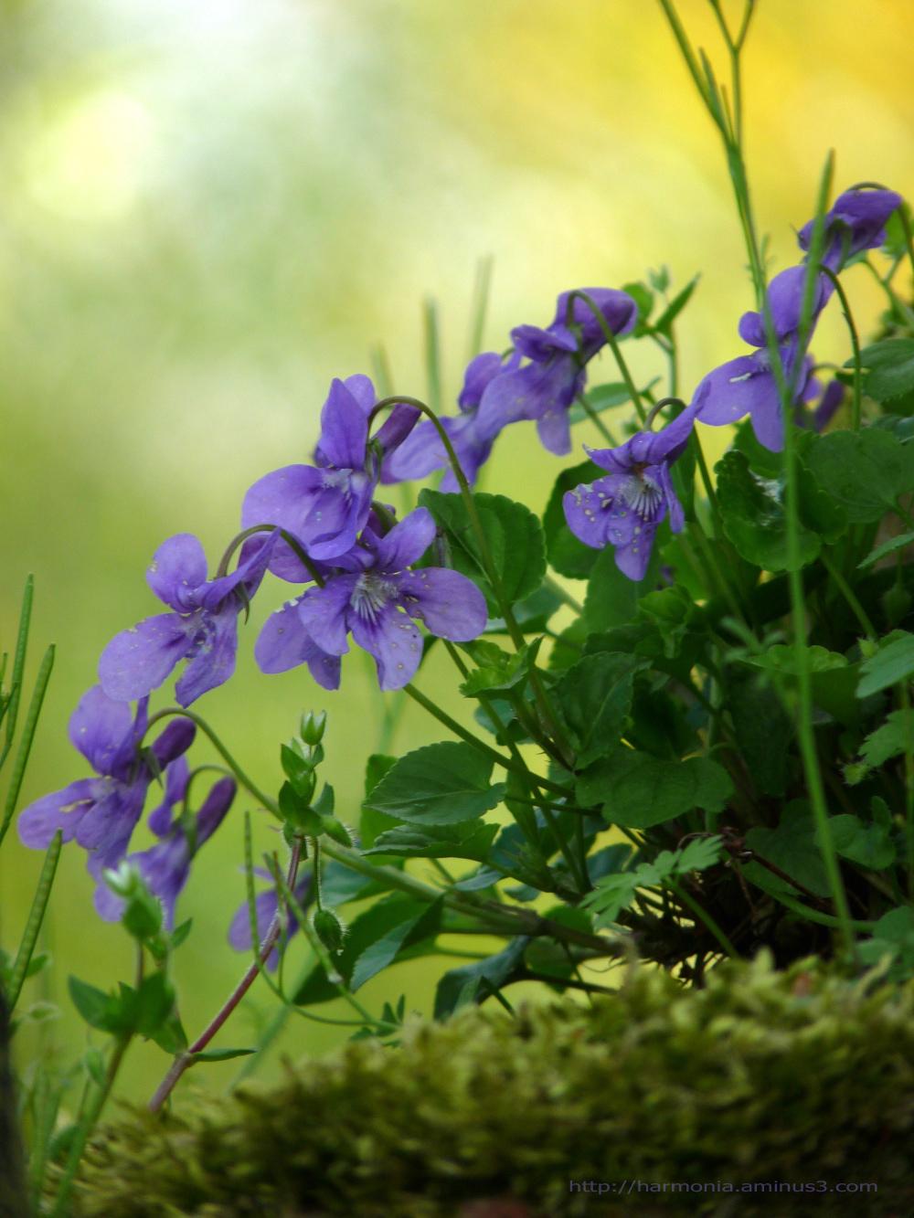 Juste quelques violettes...