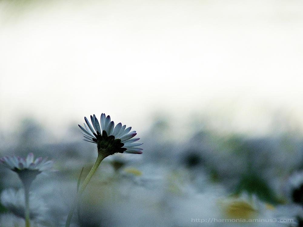 Dreamy daisy