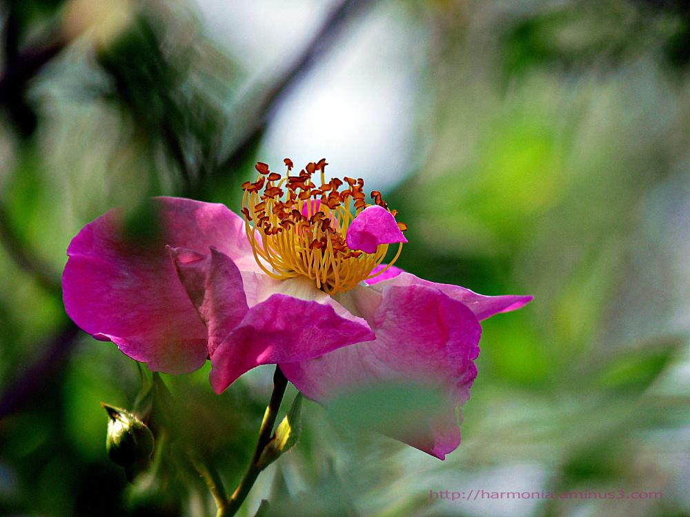 Rose du renouveau
