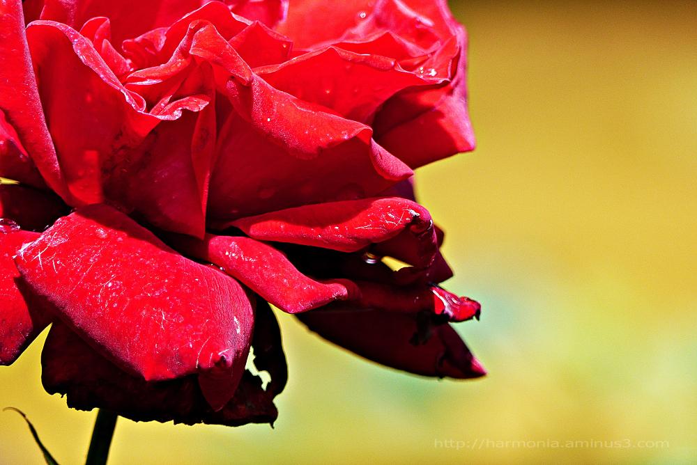 Besoin urgent de roses...