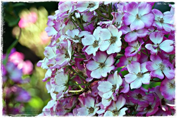 Des roses pour la Saint-Amour
