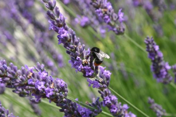 Go purple, Bumblebee
