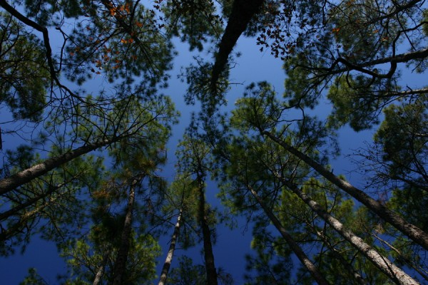 Tree canopy on blue sky