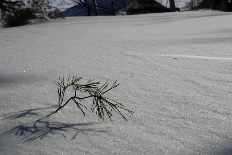 Pine needle in the snow