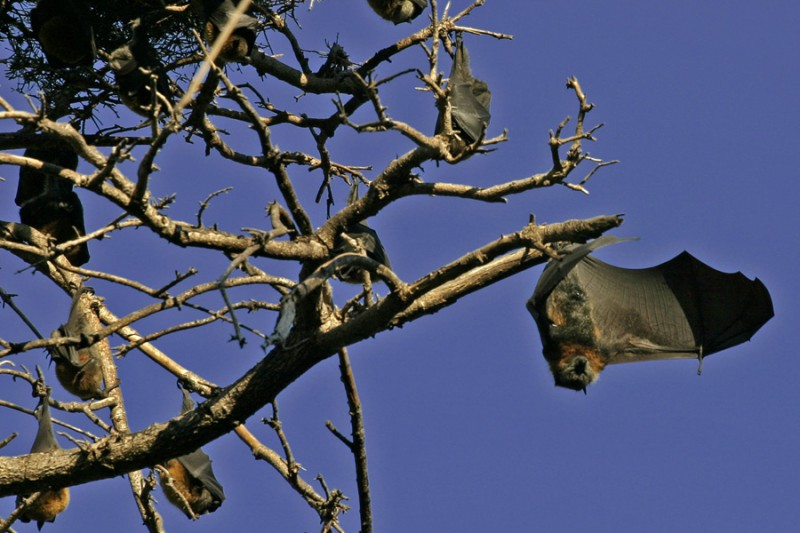Bats hanging in the trees