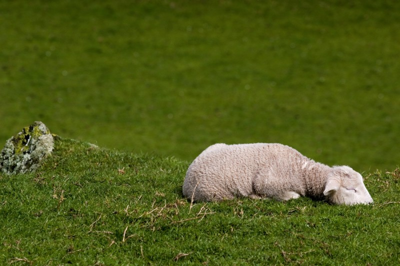 Sleeping lamb on One Tree Hill