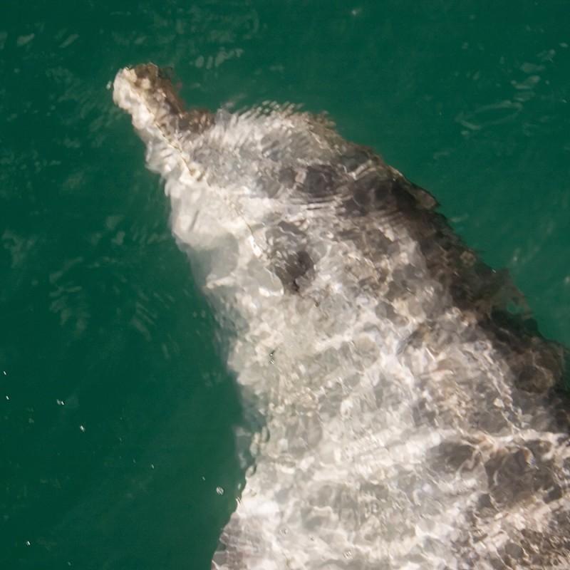 Dolphin Schmidty