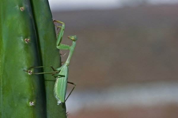Praying Mantis on the cactus