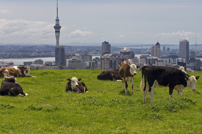 Cows on Mount Eden