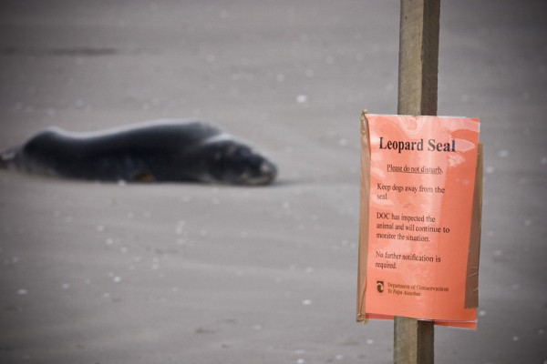 Beware the dying Leopard Seal