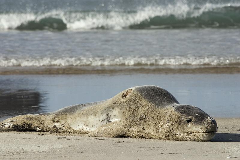 Leopard seal on Mount Maunganui beach