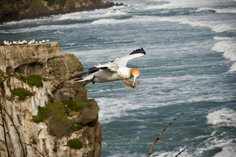 Gannett in flight, Muriwai beach NZ