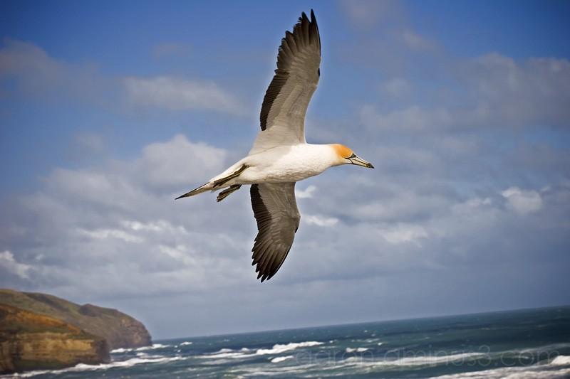 Gannett soaring wings open